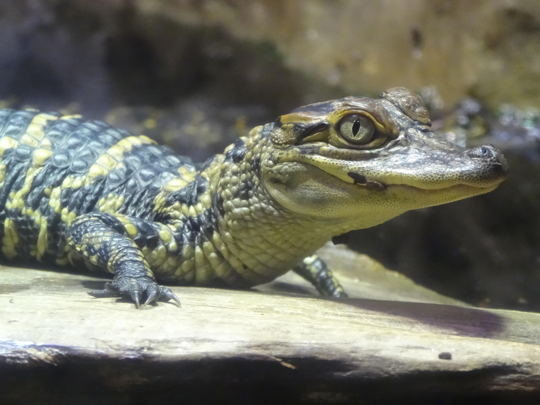 Baby alligator « traveling tUUsome
