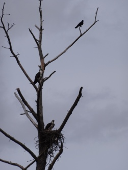 Osprey Tree