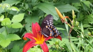 Butterfly feeding on a late blooming lily at the edge of my woods.  (Note the poison ivy nearby!)